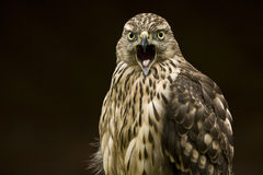 El pájaro de ruega el halcón de Saker fotografía de archivo