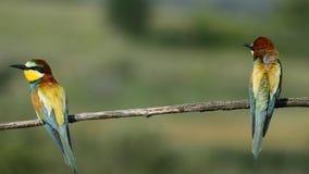 El pájaro del abeja-comedor que se sienta en una rama metrajes