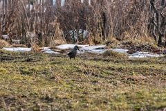 El pájaro del cedro se coloca en el fondo de la hierba seca Fotografía de archivo libre de regalías