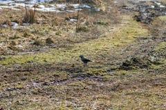 el pájaro del cedro se coloca en un camino rural del otoño con una nuez en su pico Foto de archivo