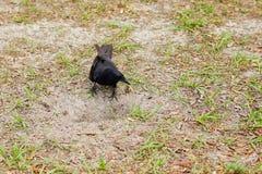 El pájaro del cuervo está cavando un agujero Imagenes de archivo