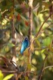 El pájaro del cyanea del Passerina del empavesado de añil forrajea para la comida Fotos de archivo