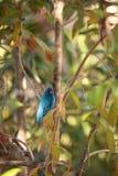 El pájaro del cyanea del Passerina del empavesado de añil forrajea para la comida Foto de archivo libre de regalías