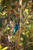 El pájaro del cyanea del Passerina del empavesado de añil forrajea para la comida Fotos de archivo libres de regalías