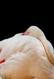 El pájaro del flamenco en la posición del sueño Fotos de archivo