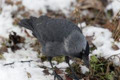 El pájaro del grajo en la nieve Foto de archivo libre de regalías