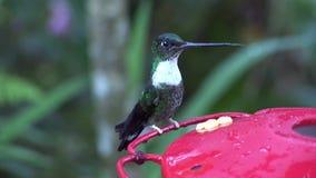 El pájaro del kiwi con el pico largo bebe el néctar del alimentador rojo en las islas de las Islas Galápagos metrajes