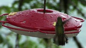El pájaro del kiwi con el pico largo bebe el néctar del alimentador rojo en las islas de las Islas Galápagos almacen de metraje de vídeo
