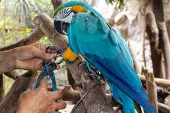 El pájaro del Macaw está enojado mientras que siendo encadenado por el ranchero imágenes de archivo libres de regalías