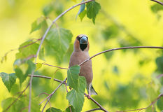 El pájaro del pájaro con un pico impresionante se está sentando entre el pasto Foto de archivo