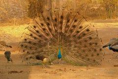 El pájaro del Peafowl está bailando en bosque imágenes de archivo libres de regalías