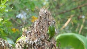 El pájaro del perro de aguas de Lineated está penetrando el árbol para encontrar insectos almacen de video