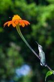 El pájaro del tarareo del tronco del anhelo Foto de archivo libre de regalías