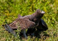 El pájaro despredador se está sentando en la tierra kenia tanzania Imagen de archivo
