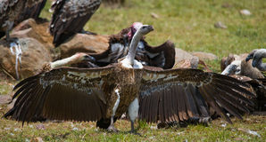 El pájaro despredador se está sentando en la tierra kenia tanzania Foto de archivo libre de regalías