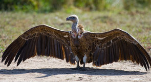 El pájaro despredador se está sentando en la tierra kenia tanzania Fotos de archivo