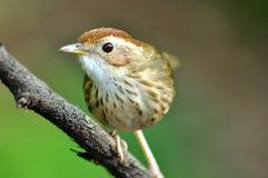 El pájaro en bosques tropicales Foto de archivo