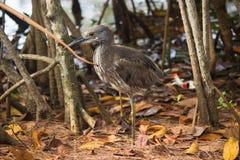 El pájaro en el canal ejerce la actividad bancaria, Miami Beach del norte, la Florida Imagen de archivo libre de regalías
