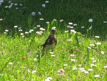 El pájaro en la hierba Foto de archivo libre de regalías