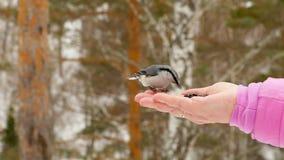 El pájaro en mano del ` s de las mujeres come las semillas almacen de video