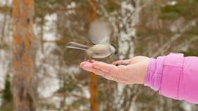 El pájaro en mano del ` s de las mujeres come las semillas almacen de metraje de vídeo