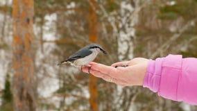 El pájaro en mano del ` s de las mujeres come las semillas metrajes