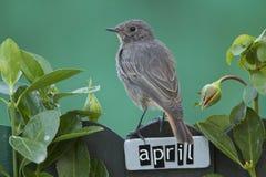 El pájaro encaramado en un abril adornó la cerca Imagenes de archivo