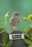 El pájaro encaramado en un abril adornó la cerca Fotos de archivo libres de regalías