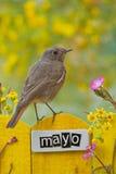 El pájaro encaramado en un mayo adornó la cerca Foto de archivo libre de regalías