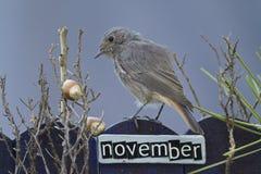 El pájaro encaramado en un noviembre adornó la cerca Imagen de archivo libre de regalías