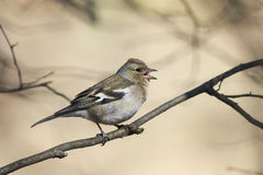 El pájaro es un pinzón vulgar femenino que canta en el bosque en primavera Imagenes de archivo
