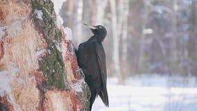 El pájaro es una pulsación de corriente que se sienta en el árbol y el pico golpea en la madera Bosque congelado metrajes