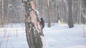 El pájaro es una pulsación de corriente que se sienta en el árbol y el pico golpea en la madera Bosque congelado almacen de video