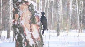 El pájaro es una pulsación de corriente que se sienta en el árbol y el pico golpea en la madera Bosque congelado almacen de metraje de vídeo