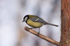 El pájaro grande del tit se sienta en la ramificación de árbol en el bosque Imagen de archivo