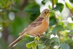 El pájaro hermoso anaranjado come el saltamontes verde en árbol imagenes de archivo
