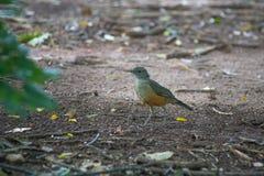 El pájaro hermoso que camina en el bosque está buscando la comida imagen de archivo