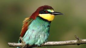 El pájaro hermoso y las plumas coloridas se sacuden en el viento metrajes