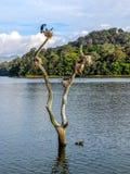 El pájaro jerarquiza en tocones de árbol en el lago Periyar, Kerala, la India Foto de archivo