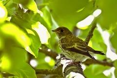 El pájaro joven oculta entre las hojas en la rama Fotografía de archivo