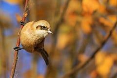 El pájaro lindo con un bozal cogió en una rama Foto de archivo