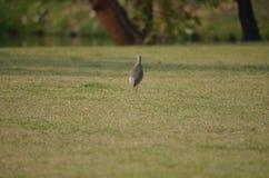 El pájaro marrón Foto de archivo