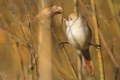 El pájaro mullido busca la comida en las hojas de otoño Fotografía de archivo
