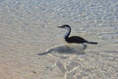 El pájaro nada en agua poco profunda Fotografía de archivo libre de regalías