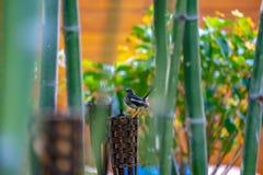 El pájaro negro con la línea blanca en su ala cuelga encendido a una antorcha de madera de la teja, con el bambú alrededor foto de archivo libre de regalías