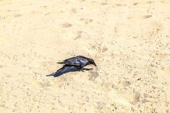 El pájaro negro que camina a lo largo de la playa arenosa y que busca worms a Fotos de archivo libres de regalías