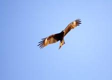 El pájaro que se eleva en cielos Imagen de archivo libre de regalías