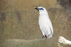 El pájaro raro llamó el estornino blanco Imagen de archivo