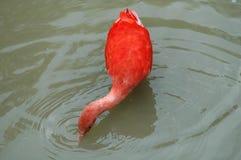 El pájaro rojo del pelícano Imágenes de archivo libres de regalías