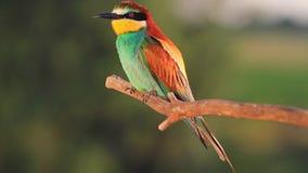 El pájaro salvaje con las plumas coloreadas se sienta en los rayos calientes del sol metrajes